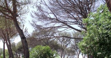 Circa dieci enormi pini completamente secchi sono presenti nel viale della pineta degli Atleti