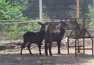 Nella Savana dello zoo ecco le Antilopi Africane