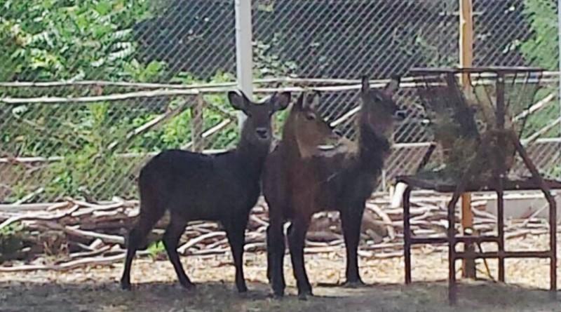 antilopi 1