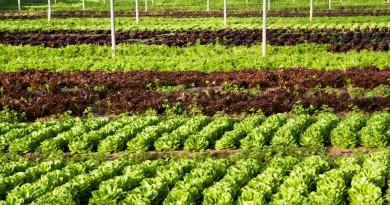 La produzione di insalate bio