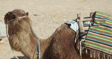cammello in attesa di turisti