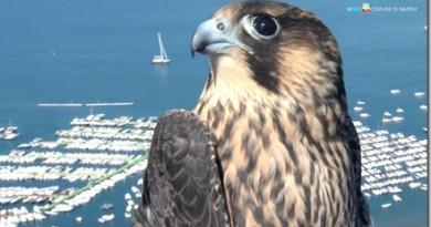 Torna a volare Giulia, il bellissimo falco ferito e curato
