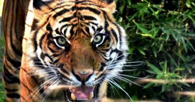 tigre zoo napoli foto di antonio musa