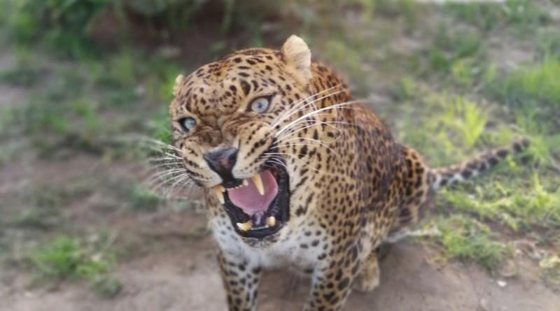 il leopardo shankiri