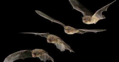 pipistrelli