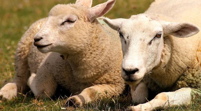 Macellazione - La macellazione senza STORDIMENTO degli animali  in Italia è consentita solo in alcuni macelli autorizzati ed è vietata ai privati.