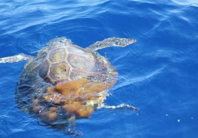 I ricercatori di Napoli salvano un esemplare di tartaruga in difficoltà