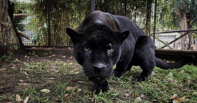 zoo giaguaro predatore